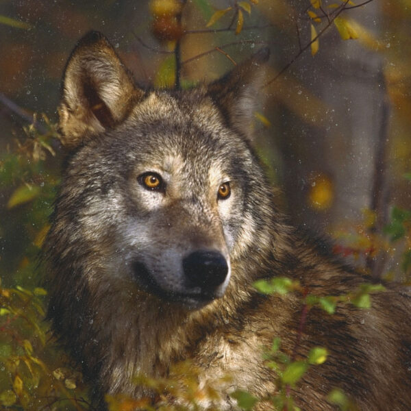 wolf_on_board2